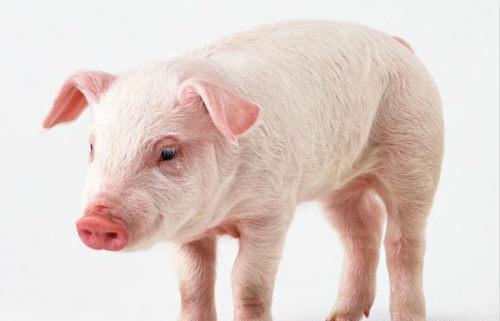 猪传染性胃肠炎